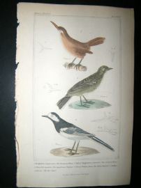 Cuvier C1835 Antique Hand Col Bird Print. European Wren, Common Wren, Yellow Wagtail, 42